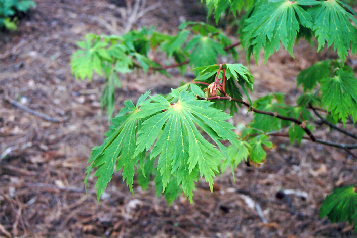 Fullmoon Maple (Acer japonicum) at Everett's Gardens