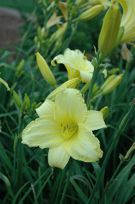 Happy Ever Appster Happy Returns Daylily (Hemerocallis 'Happy Returns') at Everett's Gardens