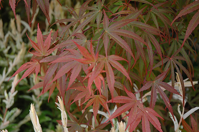 Dwarf Red Pygmy Japanese Maple (Acer palmatum 'Red Pygmy') at Everett's Gardens