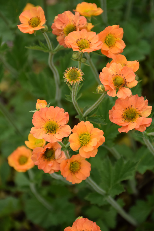 Totally Tangerine Avens (Geum 'Tim's Tangerine') at Everett's Gardens
