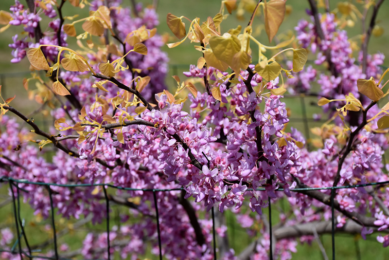 The Rising Sun Redbud (Cercis canadensis 'The Rising Sun') at Everett's Gardens
