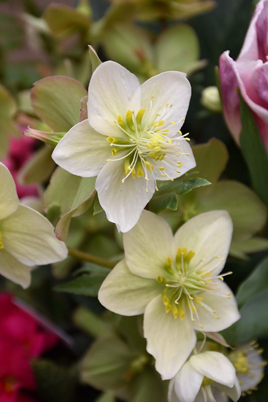 Gold Collection Shooting Star Hellebore (Helleborus 'Shooting Star') at Everett's Gardens