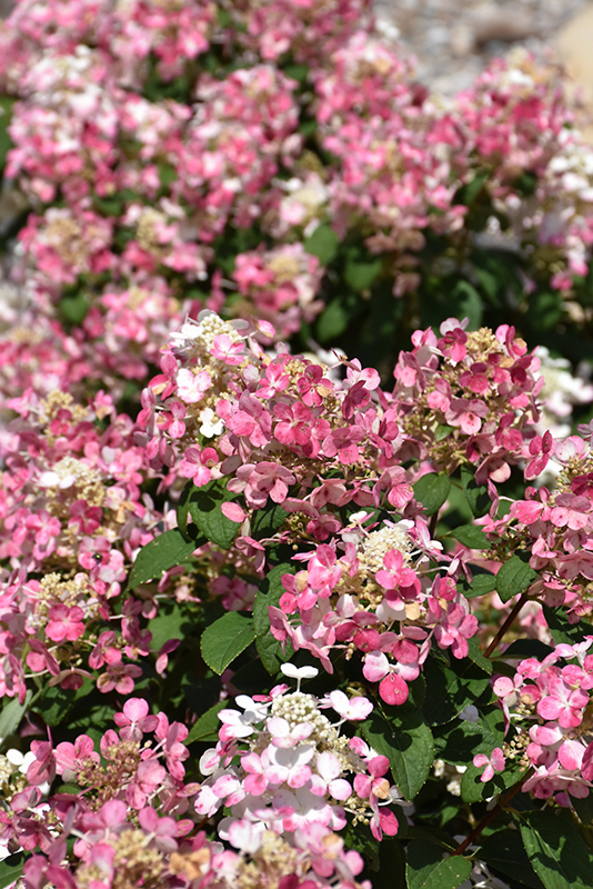 Little Quick Fire Hydrangea (Hydrangea paniculata 'SMHPLQF') at Everett's Gardens