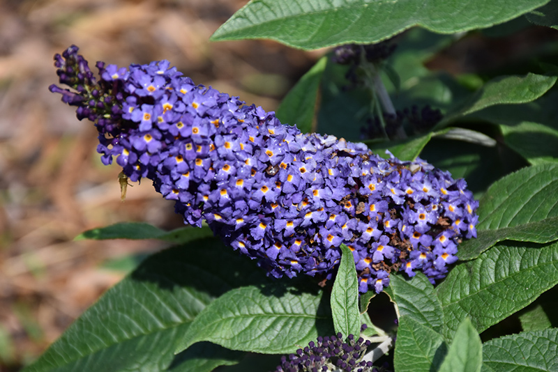 Pugster Blue Butterfly Bush (Buddleia 'SMNBDBT') at Everett's Gardens