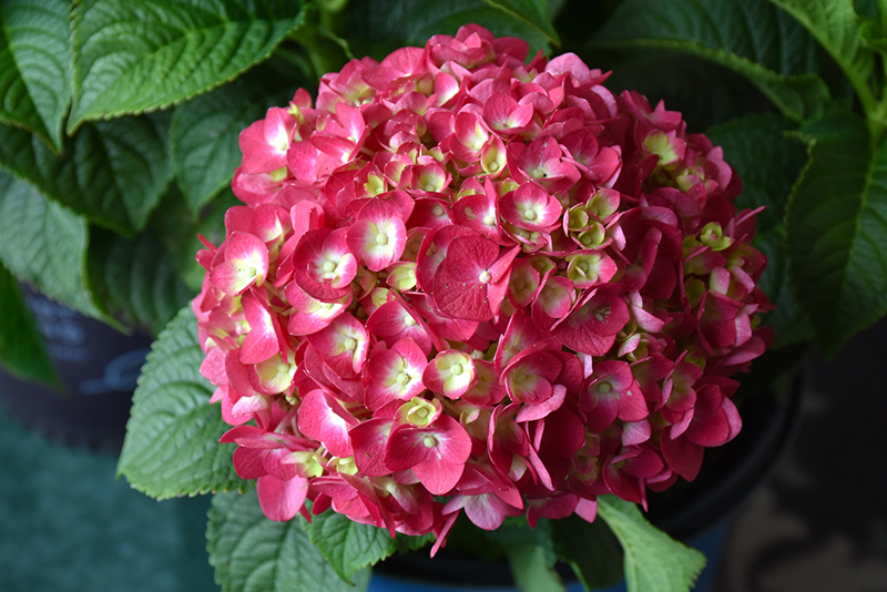 Summer Crush Hydrangea (Hydrangea macrophylla 'Bailmacfive') at Everett's Gardens