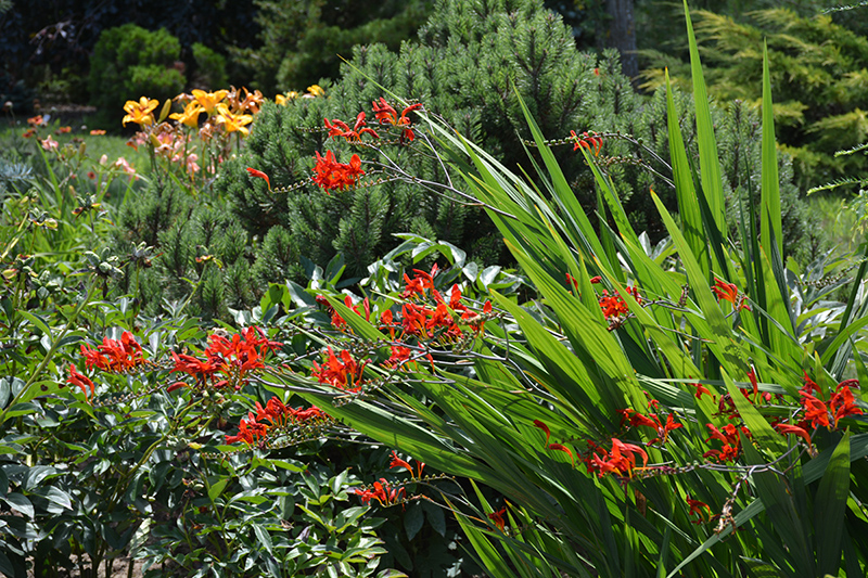 Lucifer Crocosmia (Crocosmia 'Lucifer') at Everett's Gardens